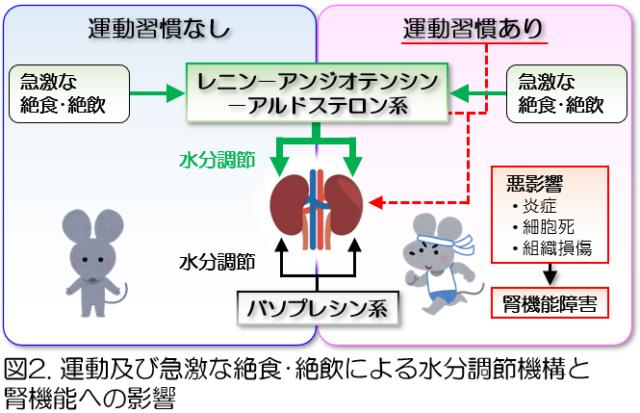 図2.運動及び急激な絶食・絶飲による水分調節機構と腎機能への影響